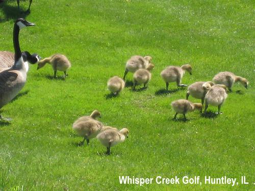 golf-wildlife-035a.jpg